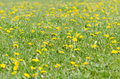 Field of dandelions (Taraxacum officinale) in flower Royalty Free Stock Photo