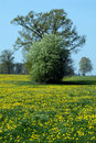 Field of dandelions and trees Royalty Free Stock Photo