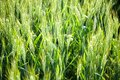 Details of ears of wheat or malt, in a field, with reflections of yellow and green sun. Royalty Free Stock Photo