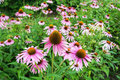 A field of  Echinacea purpurea flowers Royalty Free Stock Photo