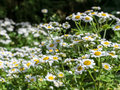 Field of fine white garden chamomiles. Short depth-of-field Royalty Free Stock Photo
