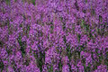 Field of fireweed a pink alaskan Royalty Free Stock Image