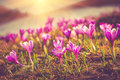 Field of first blooming spring flowers crocus as soon as snow descends on the background of mountains in sunlight filtered image Royalty Free Stock Image