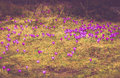 Field of first blooming spring flowers crocus in mountains. Royalty Free Stock Photo