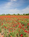 Field with flower of the poppy Stock Images