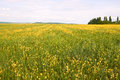 Field with flowering rapeseed and barley Stock Photos