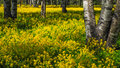 A field of flowering rapeseed in the birch grove. Yellow flowers. June in Saint Petersburg. Royalty Free Stock Photo