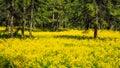 A field of flowering rapeseed in the birch grove. Yellow flowers. June in Saint Petersburg. Royalty Free Stock Photo