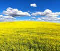 Field of flowering rapeseed canola or colza