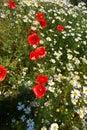 Field flowers Royalty Free Stock Photo