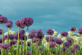 Field of Flowers and Blue Sky Royalty Free Stock Photo