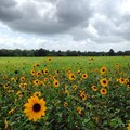 Field flowers country sunflowers breeze texas Royalty Free Stock Photos