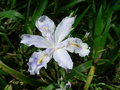 The field flowers of iris japonica thunb is one kind thirteen iridaceous species and be often used as chinese herbal medicine in Stock Image