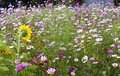 Field of flowers various pink and white cosmos in with one large sunflower Stock Photography