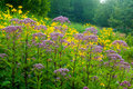 Field of flowers a woodland meadow yellow cutleaf coneflowers and joe pye weed Royalty Free Stock Photo