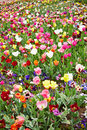 Field full of flowers and tulips different colorful Royalty Free Stock Photos
