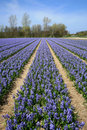 Field full of hyacinths. Stock Photos
