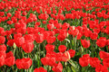 Field full of red tulips. Stock Photos