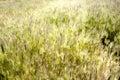 Field full of wheat in a land