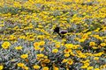A field full of yellow chamomiles and a black raven