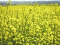 Field full of yellow flowers a vast overflowing with rapeseed Stock Photo