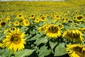 Field of Giant Sunflowers Royalty Free Stock Photo