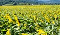 Field of Giant Sunflowers - 3 Royalty Free Stock Photo