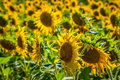 Field of giant sunflowers on a sunny summer day in France Royalty Free Stock Photo