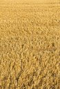 Field of gold; stubble field at harvest-time. Royalty Free Stock Images