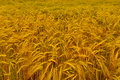 Field of golden barley a expansive pictured just before harvesting shot in the farmland wymondham norfolk england Royalty Free Stock Photo
