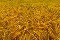 Field Of Golden Barley Royalty Free Stock Photo