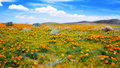 Field of Californian Golden Poppies in Bloom Royalty Free Stock Photo