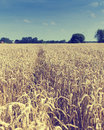 Field of golden ripe wheat Royalty Free Stock Photo