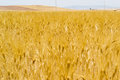 Field of golden ripe wheat ears Royalty Free Stock Photo