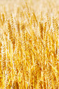 Field of golden rye close up Stock Images