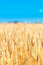 Field of golden rye close up Royalty Free Stock Photography