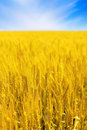 Field of golden rye and sun. Royalty Free Stock Photography