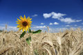 Field of golden wheat with lone sunflower Royalty Free Stock Photo