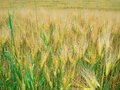 Field of grain at the beginning summer and various weeds Royalty Free Stock Photos