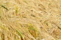 Field of grain detail a golden Stock Photos