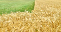 Field of grain a with green and golden Royalty Free Stock Photo