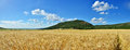 Field of grain panoramic view a golden Stock Photos