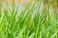 Field of grass closeup Royalty Free Stock Photo