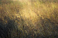 Field of grass dry brown or hay Royalty Free Stock Photography