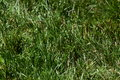 Field of grass Royalty Free Stock Photo