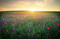 Field with grass, violet flowers and red poppies Royalty Free Stock Photo