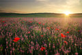 Field with grass, violet flowers and red poppies. Sunset Royalty Free Stock Photo