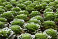 The field of green cabbage in rows on the ground. Royalty Free Stock Photo