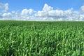 Field of green crop