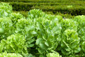 Field of green frisee lettuce growing in rows Stock Photo